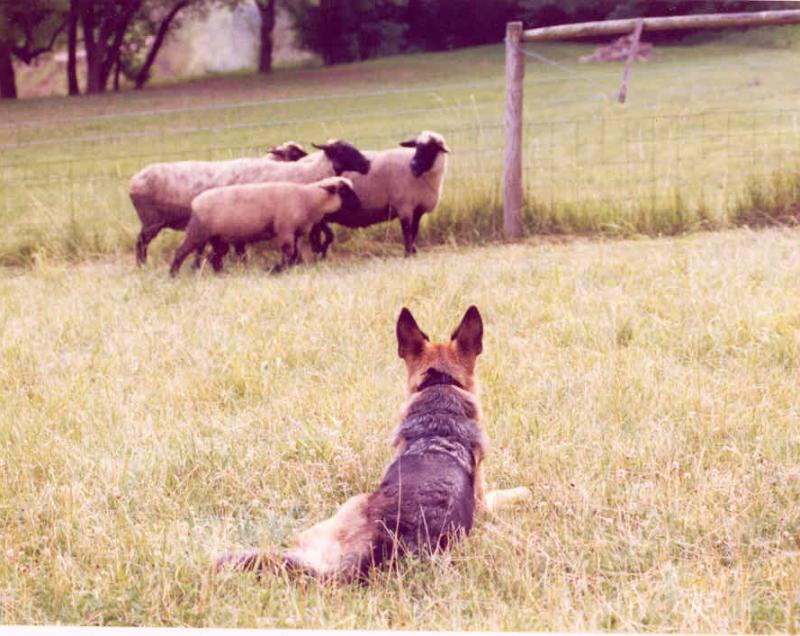 mieka and sheep